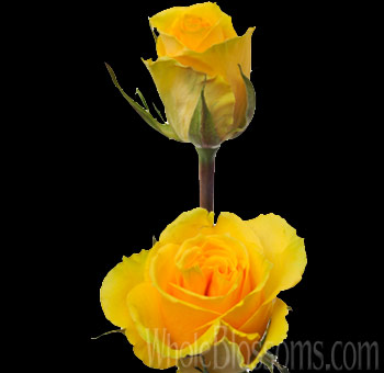 Elle Yellow Rose