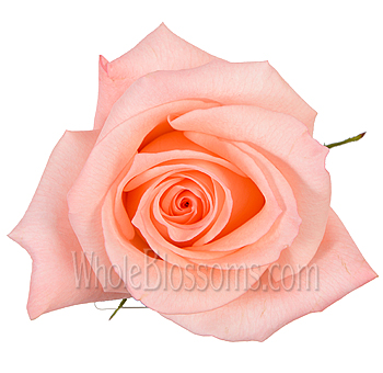 Engagement Peach Pink Rose