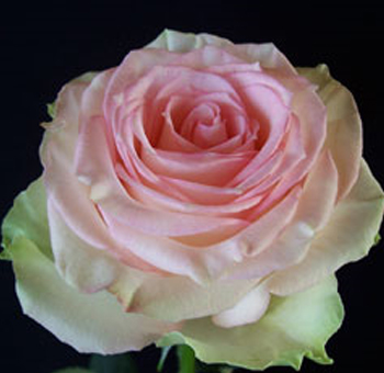 Wedding Flowers Esperance Roses