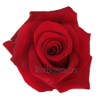 Explorer Dark Red Rose