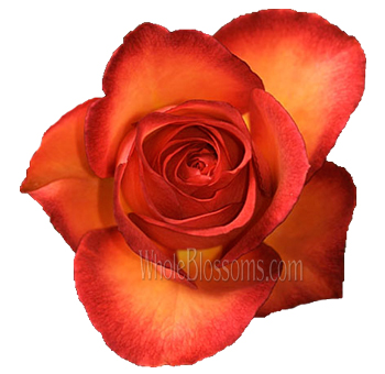 Bulk Flowers Fancy Amazon Bicolor Roses