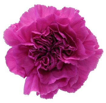 Carnation Lavender with Hot Pink Tinge