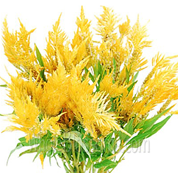 Feather Celosia Yellow Flower