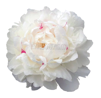 White Peony Flower with Dark Pink Speckles