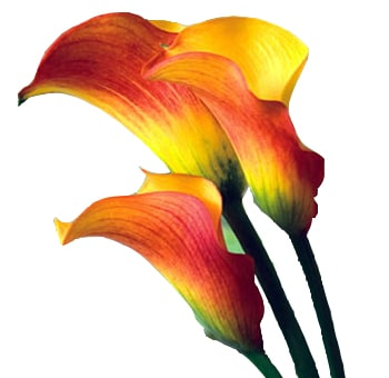 Calla Lily Mini Flame Flowers