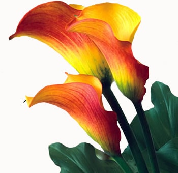 Flame Calla Lily Mini Flowers