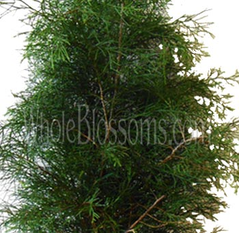 Florida Cedar Greens Flower Filler