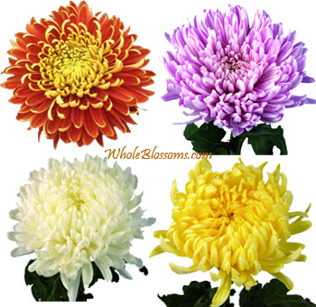Jumbo Football Mum Assorted Flowers