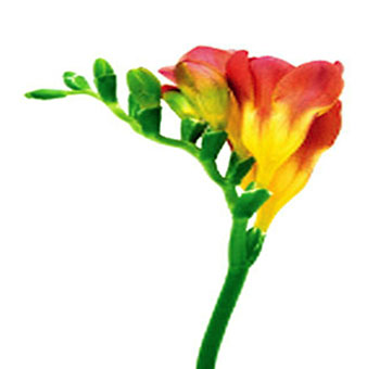 Red Freesia Flower