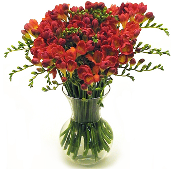 Wholesale Freesia
