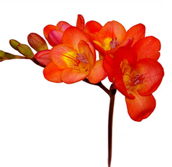 Freesia Bicolor Orange Flower