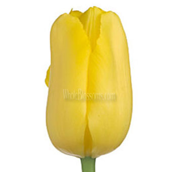 French Tulip Yellow Flower