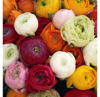 Billybuttons Flowers on Wholesale Ranunculus Flowers Are A Great Choice As Diy Wedding Flowers