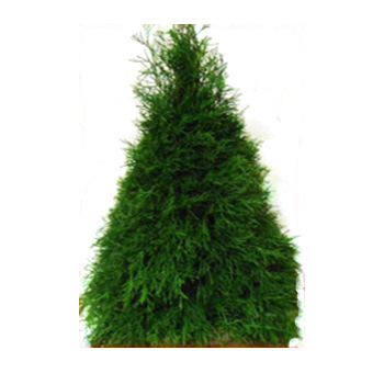 Buy Fresh Cedar Christmas Tree Online   Whole Blossoms