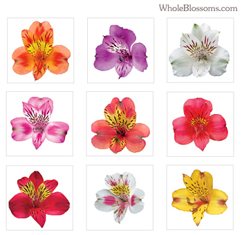 Choose Your Colors Alstroemeria - 100 Stems