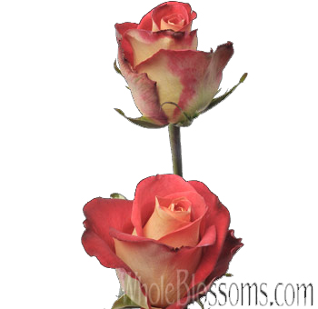 Friendship Bicolor Bulk Roses