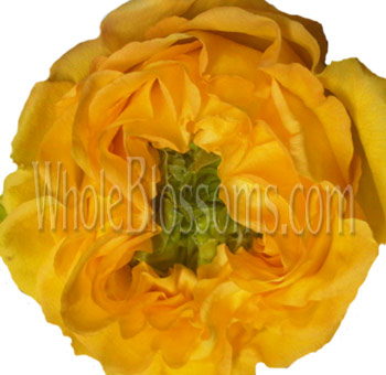 Yellow Garden Rose with Green Eye Flower