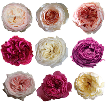 Garden Roses 36 Pack By Color