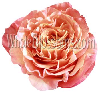 raspberry cream orange garden rose