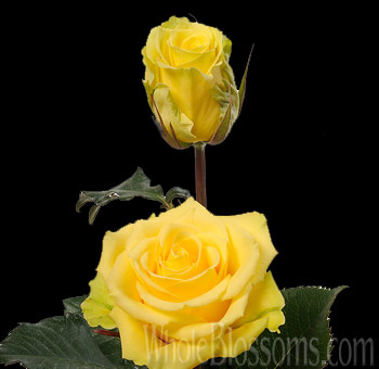 Gelosia Yellow Rose