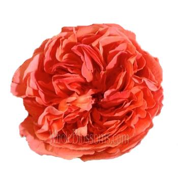 goscinny orange fall garden rose
