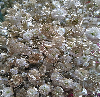 Gold Baby Breath Flowers