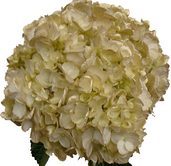 Gold Hydrangea Airbrushed