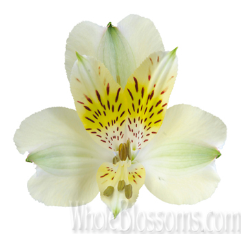 Pale Green Peruvian Lily Flower