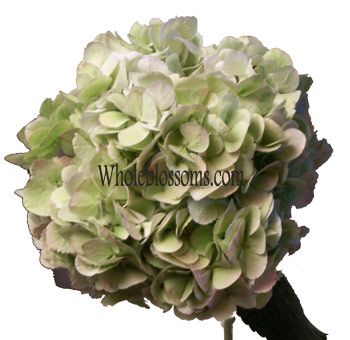 green-antique-hydrangeas