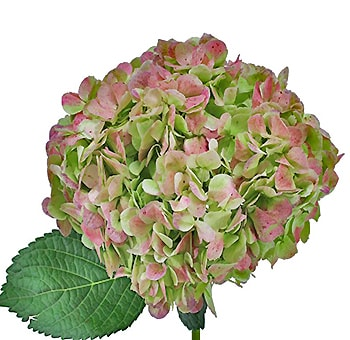 Green Antique Hydrangea Jumbo