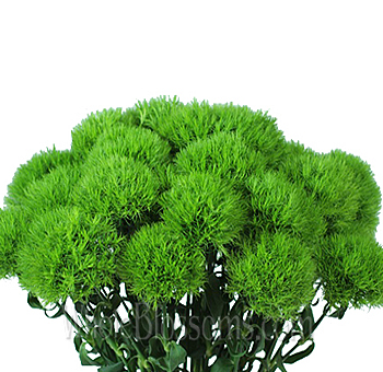 Green Dianthus Flowers