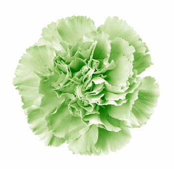 Green Carnations for Valentine's Day