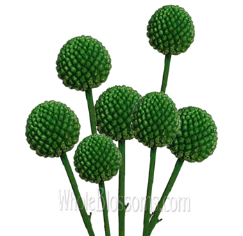 Craspedia Flower Green Woolyheads