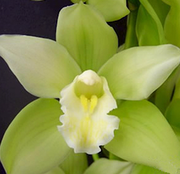 Green Cymbidium Orchid Clear Lip