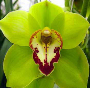 Green Cymbidium Orchid | Red Lip