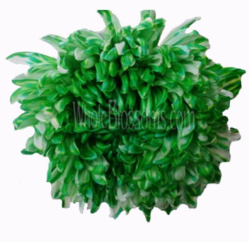 Jumbo Football Mum Tinted Green Flower