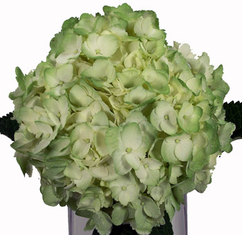 Green Airbrushed Hydrangea