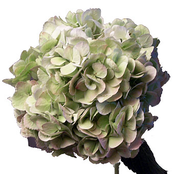 green-hydrangea-flower-antique