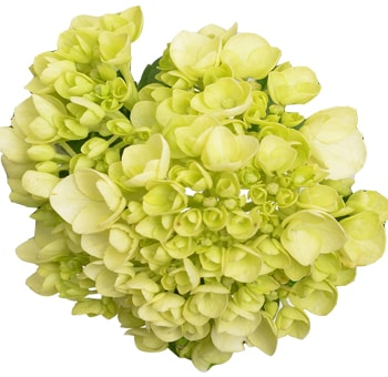 Hydrangea Natural Green Mini
