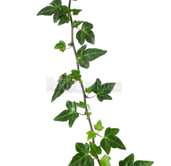 Wholesale Green Ivy