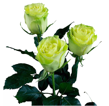 Green Long Stem Roses