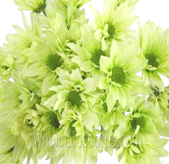 Daisy Pom Tinted Green Flowers