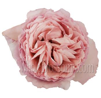 passion light pink garden rose