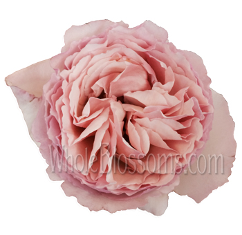 Passion Light Pink Garden Roses