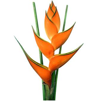 Heliconia Orange Tropical Flower