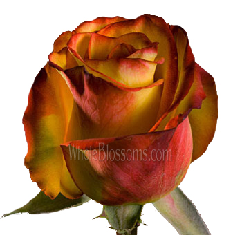 High and Magic Organic Roses