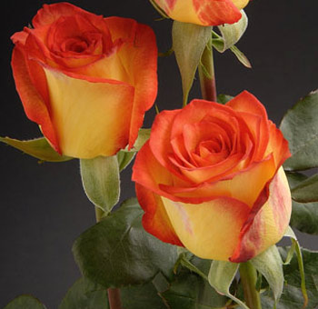 High and Magic Bicolor Roses