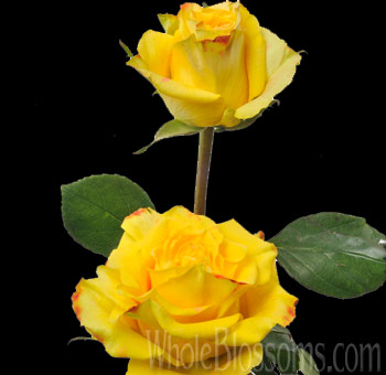 High and Yellow Magic Rose