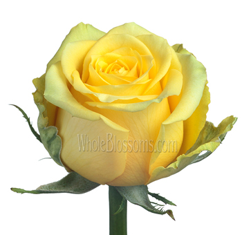 High & Exotic Bright Yellow Rose