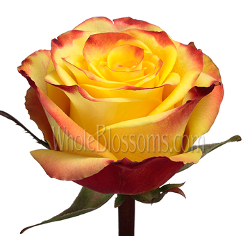High and Magic Bicolor Red and Yellow Rose